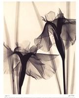 Japanese Iris Fine-Art Print