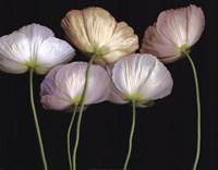 Cream Poppies Fine-Art Print