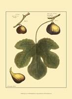 Fig Leaf I Fine-Art Print