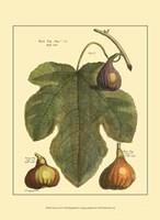 Fig Leaf II Fine-Art Print