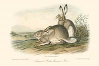 Rocky Mountain Hare Fine-Art Print