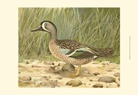 Blue-wing Teal Fine-Art Print