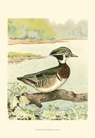 Woodduck Male Fine-Art Print