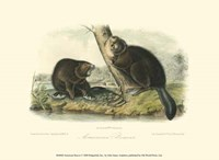American Beaver Fine-Art Print