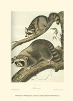 Racoon Fine-Art Print