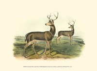 Columbian Black-tailed Deer Fine-Art Print