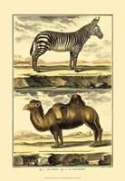 Zebra and Camel Fine-Art Print