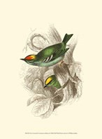 Fire-Crowned and Common Goldcrest Fine-Art Print
