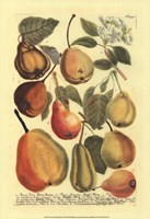 Plentiful Pears II Fine-Art Print