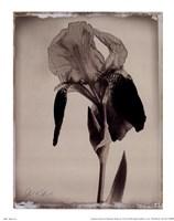 Sepia Iris Fine-Art Print