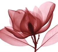 Red Magnolia I Fine-Art Print