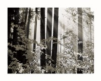 Misty Forest Fine-Art Print