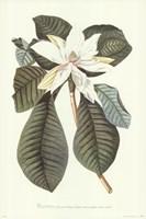 Magnolia Folis Oblongis Fine-Art Print