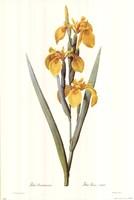 Iris Pseudacorus Fine-Art Print