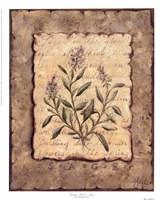 Vintage Herbs-Sage Fine-Art Print