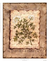 Vintage Herbs - Parsley Fine-Art Print