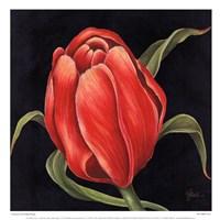 Tulipe Rouge Fine-Art Print