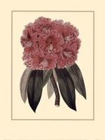 Regal Rhododendron Fine-Art Print