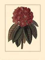 Rhododendron Rojo Fine-Art Print