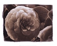 Camellia I Fine-Art Print