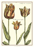 De Passe Tulipa I Fine-Art Print
