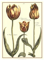 De Passe Tulipa II Fine-Art Print