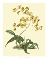 Antique Orchid Study I Fine-Art Print
