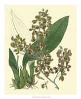 Antique Orchid Study III Fine-Art Print