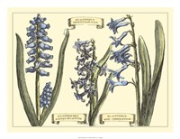 Hyacinth in Bloom Fine-Art Print
