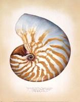 Chambered Nautilus Fine-Art Print