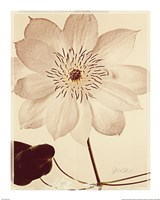 White Clematis Fine-Art Print