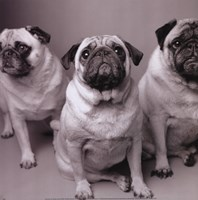 Three Pugs Framed Print