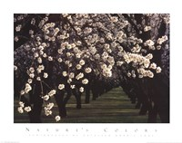 Almond Blossoms Fine-Art Print