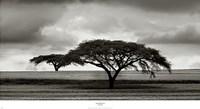 Acacia Trees Fine-Art Print