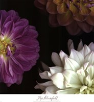 Purple Dahlia II Fine-Art Print