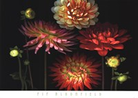 Dahlia Garden Fine-Art Print
