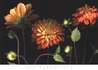 Orange Dahlia Garden Fine-Art Print