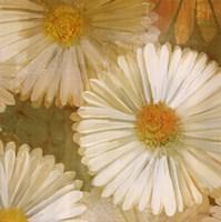 Daisy Story Square I Fine-Art Print