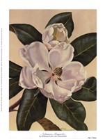 Afternoon Magnolia Fine-Art Print