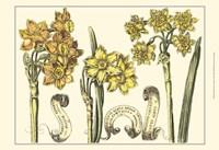 Small Narcissus in Bloom I (P) Fine-Art Print