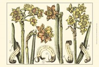 Small Narcissus in Bloom II (P) Fine-Art Print