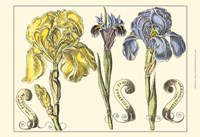 Small Iris in Bloom I (P) Fine-Art Print