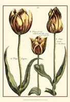 Small DePasse Tulipa II (P) Fine-Art Print