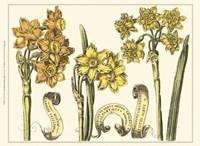 Custom Narcissus in Bloom I (U) Fine-Art Print