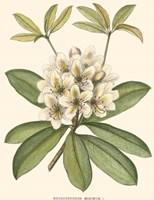 Rhododendron Fine-Art Print