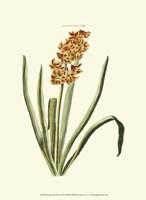 Antique Hyacinth VIII Fine-Art Print