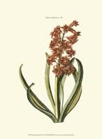 Antique Hyacinth V Fine-Art Print