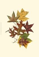 Sm Tulip Tree,Sw Gum&Scarlet Oak Fine-Art Print