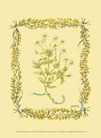 Small Chamomile Fine-Art Print