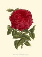 Magnificent Rose II Fine-Art Print